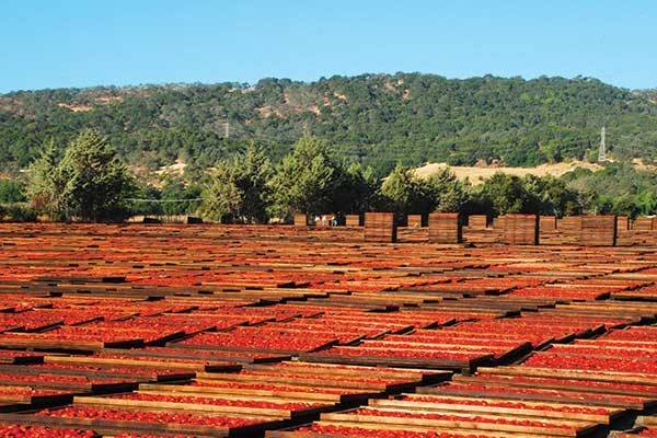 sun drying tomatoes in California