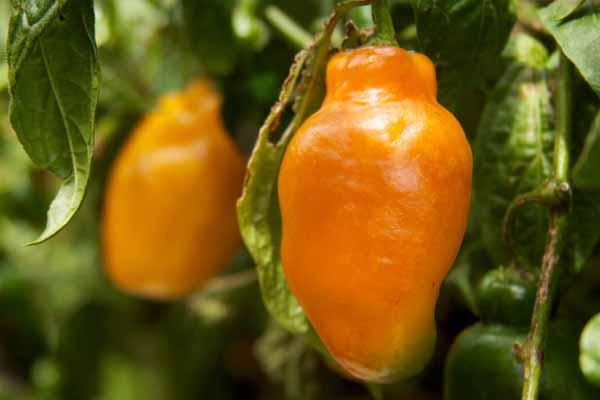 Capsicum Aji Rocoto Peruvian Chili Pepper