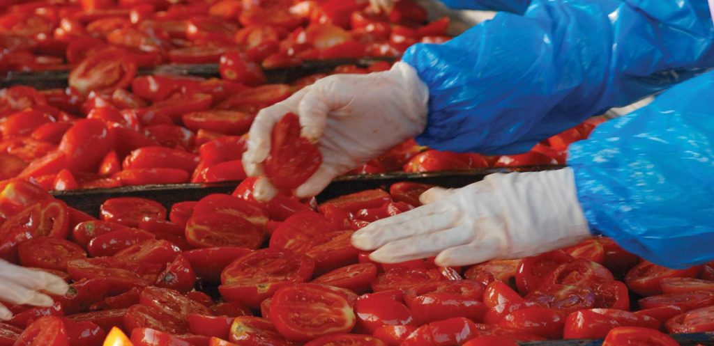 U.S. workers sorting California-grown tomatoes for quality sun dried tomatoes