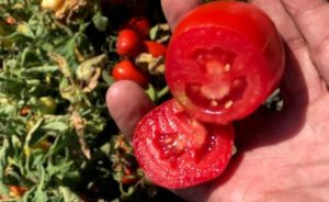 tomato harvested for dried tomatoes